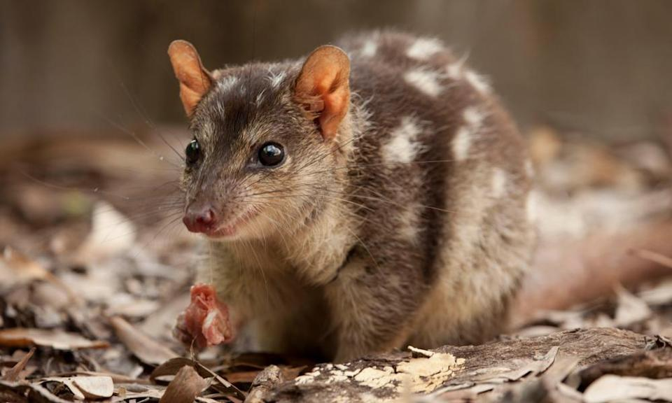 A northern quoll