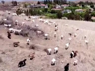 Goats wander the hills near Irvine, California, where they graze on grasses and invasive plants that can fuel wildfires. (screengrab)