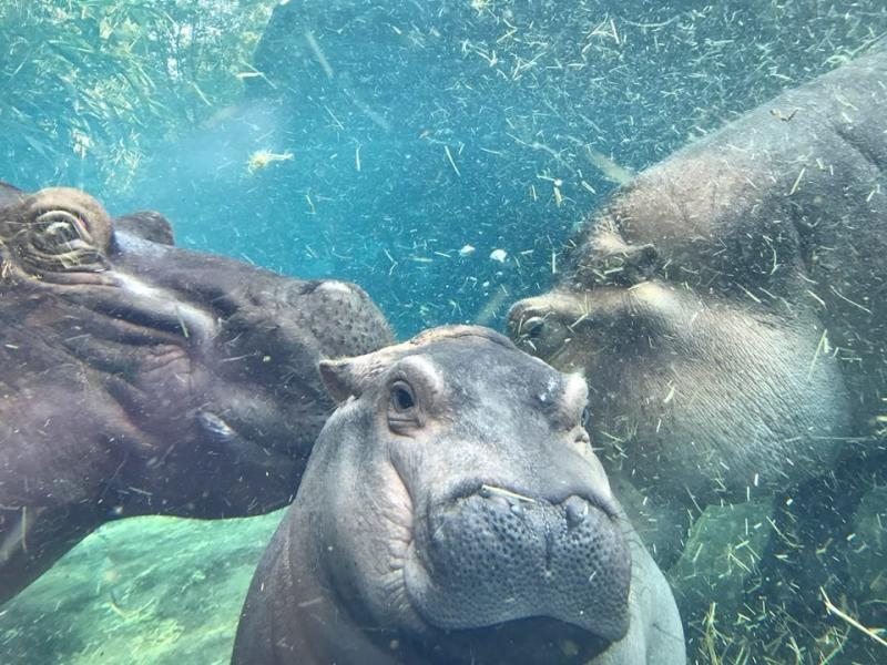 A new ice cream flavor has been named after the internet's favorite baby hippo. (Cincinnati Zoo Botanical Garden/Facebook)