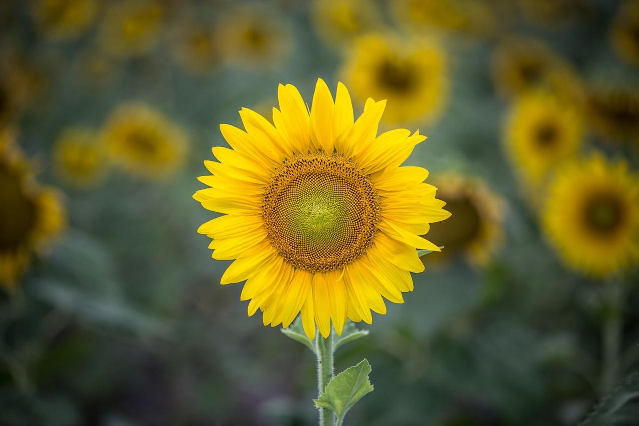 """<p>Sunflowers are real sun lovers, and their head follows the sun during the day making sure they get every bit of sunshine they can.  At night the head turns to the east ready for the next morning's sunrise.  This is known as 'heliotropism'.</p><p><a class=""""body-btn-link"""" href=""""https://go.redirectingat.com?id=127X1599956&url=http%3A%2F%2Fwww.waitroseflorist.com%2Fshop-by-type%2Fbritish-sunflowers-563600&sref=https%3A%2F%2Fwww.housebeautiful.com%2Fuk%2Fgarden%2Fplants%2Fg22113752%2Fjuly-flowers-seasonal-bloom%2F"""" target=""""_blank"""">BUY NOW</a></p>"""
