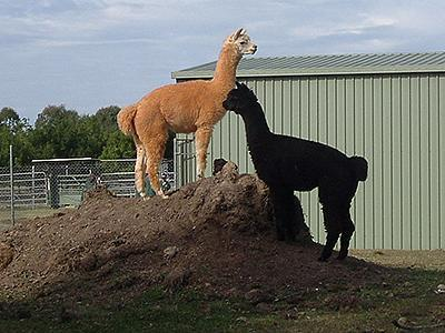 <p>Man who bashed alpaca to death free</p>