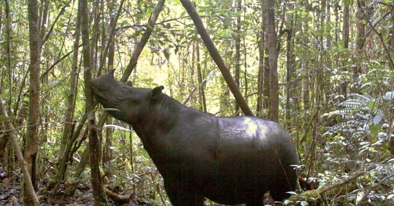 The Sumatran rhinoceros has suffered a 50 percent drop in population numbers over the past 20 years (AFP Photo/)