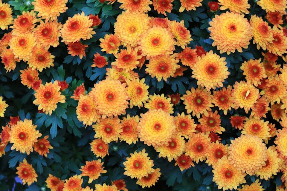 """<p>A popular choice for many gardens, chrysanthemums offer valuable late flowers in September and October. We couldn't think of anything lovelier than spotting them from your <a href=""""https://www.housebeautiful.com/uk/lifestyle/cleaning/a37674745/tiktok-kitchen-cleaning-hacks/"""" rel=""""nofollow noopener"""" target=""""_blank"""" data-ylk=""""slk:kitchen"""" class=""""link rapid-noclick-resp"""">kitchen</a> window. </p><p><a class=""""link rapid-noclick-resp"""" href=""""https://www.dobies.co.uk/flowers/flower-seeds/all/chrysanthemum-dobies-rainbow-mixed_mh-2939"""" rel=""""nofollow noopener"""" target=""""_blank"""" data-ylk=""""slk:BUY NOW VIA DOBIES"""">BUY NOW VIA DOBIES</a></p>"""