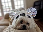 <p>This adorable Maltese mix sure likes their Mickey Mouse ears. </p>
