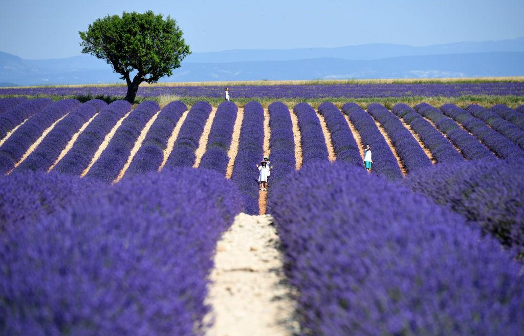 <p>People walk amongst rows of lavender in full bloom in Valensole, France. Covering approximately 800 square kilometres, the plateau of Valensole is the biggest area in France devoted to growing lavender and the blooming period between June and July draws thousands of tourists to the area to enjoy the explosion of colours. (James D. Morgan/Getty Images) </p>