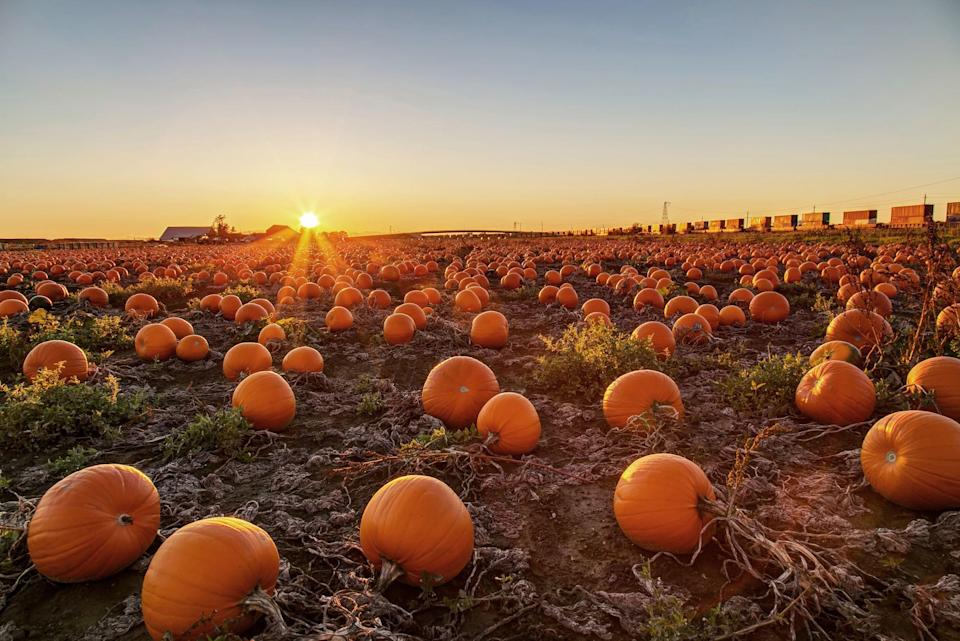 """<p>If your social media is bursting with things like delicious <a href=""""https://www.countryliving.com/food-drinks/g619/our-best-pumpkin-recipes-1008/"""" rel=""""nofollow noopener"""" target=""""_blank"""" data-ylk=""""slk:pumpkin recipes"""" class=""""link rapid-noclick-resp"""">pumpkin recipes</a>, fun <a href=""""https://www.countryliving.com/diy-crafts/g1350/pumpkin-decorating-1009/"""" rel=""""nofollow noopener"""" target=""""_blank"""" data-ylk=""""slk:pumpkin decorating"""" class=""""link rapid-noclick-resp"""">pumpkin decorating</a> ideas, and picturesque pumpkin farms, you know one thing is certain: It's fall! So we've put together a list of the best pumpkin farms near you for the perfect family getaway. </p><p>At each of these destinations, you'll find tons of pumpkins ready to be picked, baked into the best <a href=""""https://www.countryliving.com/food-drinks/g4533/pumpkin-cookies/"""" rel=""""nofollow noopener"""" target=""""_blank"""" data-ylk=""""slk:pumpkin cookies"""" class=""""link rapid-noclick-resp"""">pumpkin cookies</a>, carved <a href=""""https://www.countryliving.com/diy-crafts/g1363/painted-pumpkins/"""" rel=""""nofollow noopener"""" target=""""_blank"""" data-ylk=""""slk:(or painted!)"""" class=""""link rapid-noclick-resp"""">(or painted!)</a> for Halloween, or displayed proudly on your front porch. But that's just half of the experience at most of our top picks. Included in your pumpkin-filled excursion are <a href=""""https://www.countryliving.com/food-drinks/g454/autumn-treats-1007/"""" rel=""""nofollow noopener"""" target=""""_blank"""" data-ylk=""""slk:autumn treats"""" class=""""link rapid-noclick-resp"""">autumn treats</a>, intricate <a href=""""https://www.countryliving.com/life/travel/g22717241/corn-maze-near-me/"""" rel=""""nofollow noopener"""" target=""""_blank"""" data-ylk=""""slk:corn mazes"""" class=""""link rapid-noclick-resp"""">corn mazes</a>, and numerous other festive activities in which to partake. There are even a few tug-of-war competitions to be had out there. (No matter where you go or what you do, keep in mind that some farms are modifying their events for health and safety reasons during"""