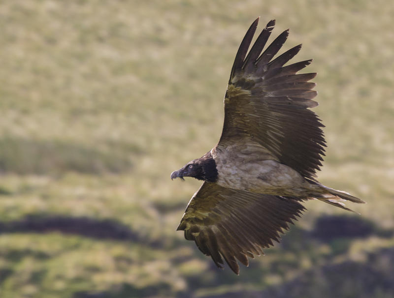 Bearded vulture spotted in UK for second time