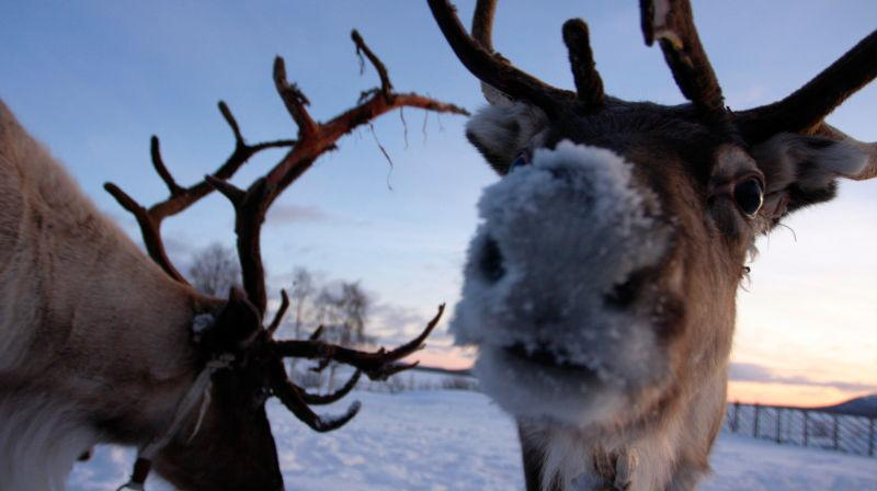 Reindeer staring into camera with snowy nose
