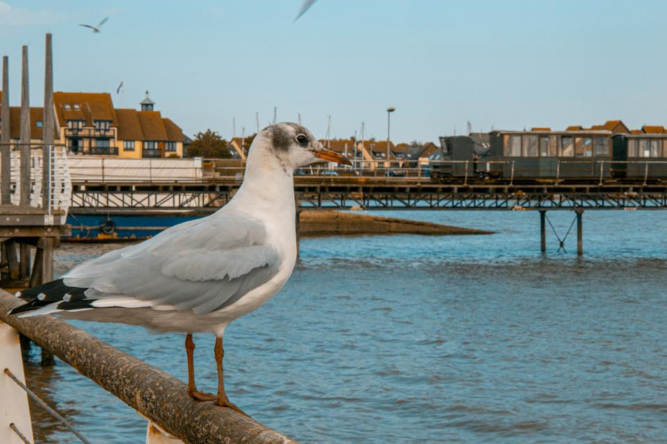 A seagull looks out to sea at Hythe Waterfront, Hampshire whilst the pier train runs in the distance