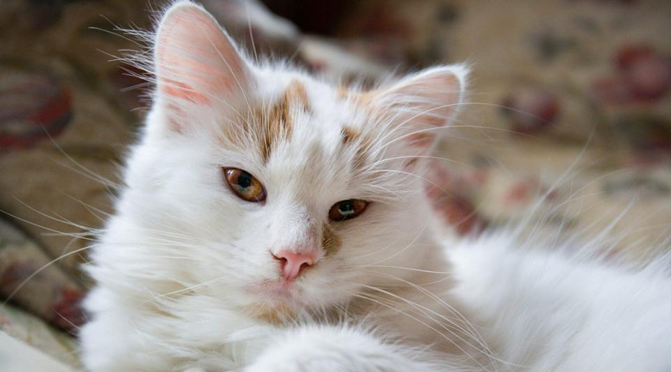 """<p>The <a href=""""https://www.dailypaws.com/cats-kittens/cat-breeds/turkish-van"""" rel=""""nofollow noopener"""" target=""""_blank"""" data-ylk=""""slk:Turkish Van"""" class=""""link rapid-noclick-resp"""">Turkish Van</a> is another large-sized feline. They fetch naturally and will often bring balls to their human companions to initiate a game, and they will walk on a leash and harness. Plus, their propensity to swim even earned them the nickname the """"Swimming Cat.""""</p>"""