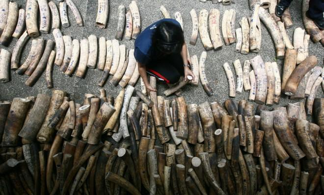 Rows of confiscated ivory will be ceremonially crushed by industrial rollers.