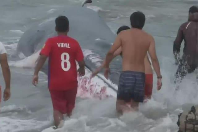 Beached whale rescued by locals in Chile