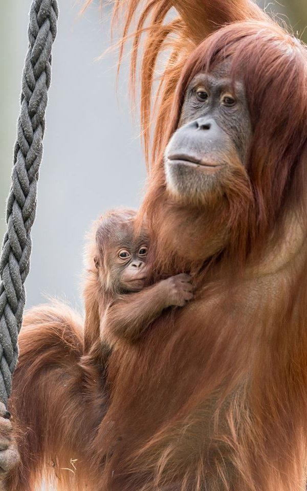 Ombak will be dependent on its mother for up to seven years and learn everything it needs to know, as orangutans become solitary animals - Credit: Zoo Basel (Torben Weber)