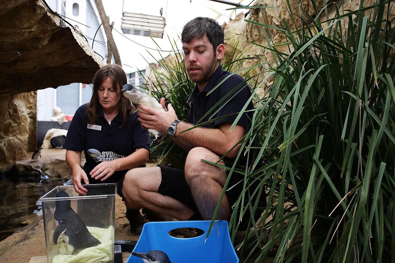 SYDNEY, AUSTRALIA - JANUARY 18:  Sydney Aquarium staff Martin Garwood and Libby Eyre prepare to release baby penguins on January 18, 2012 in Sydney, Australia. Three baby penguins were released into the aquarium and reunited with their parents for the first time since birth.  (Photo by Lisa Maree Williams/Getty Images)