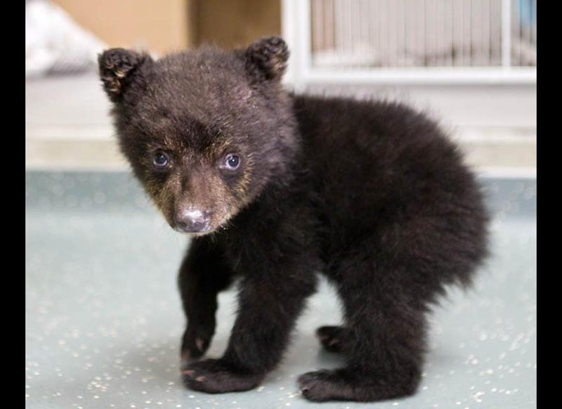 In this undated photo provided by the Oregon Zoo, a quarantined black bear cub explores his surroundings at The Oregon Zoo in Portland, Ore. (AP Photo/Oregon Zoo, Carli Davidson)