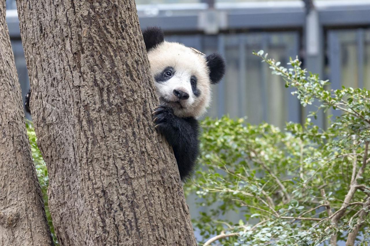 "<p>Looking for something to spark some joy? Why not tune into Edinburgh Zoo's 'Panda Cam' and see what the furry creatures are up to. </p><p><a class=""body-btn-link"" href=""https://www.edinburghzoo.org.uk/webcams/panda-cam/"" target=""_blank"">WATCH NOW</a> </p>"