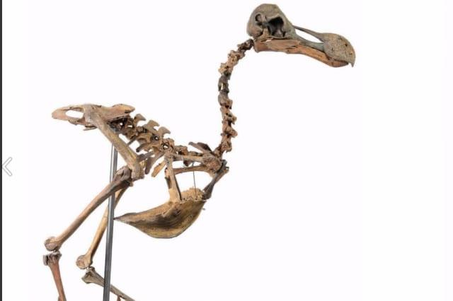 Guess how much this dodo skeleton costs