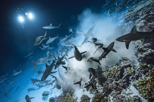<p>Laurent Ballesta's images show the glimmering gray reef sharks hunting in swift packs, flying through the water and feasting on the likes of helpless grouper. (Photo: Caters News) </p>