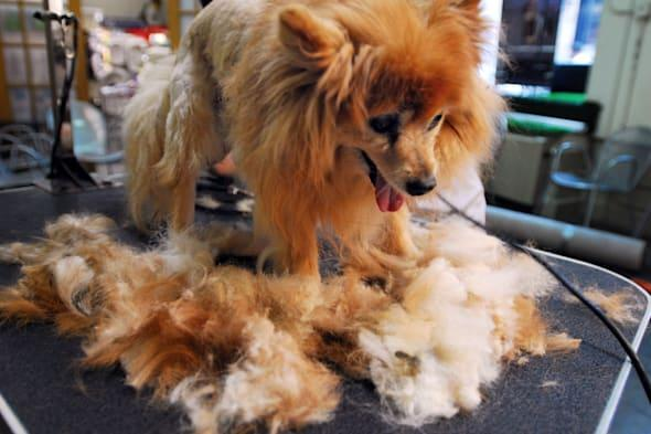 Cassidy, a pomeranian dog with six months of hair growth, is groomed at New York Dog Spa and Hotel to remove matted patches of h