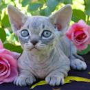 "<p>For those who are on the fence about owning a completely hairless cat, this breed, the <a href=""https://icatcare.org/advice/minskin/"" rel=""nofollow noopener"" target=""_blank"" data-ylk=""slk:Minskin"" class=""link rapid-noclick-resp"">Minskin</a> might be a good compromise. Why? Minkins, bred between a Munchkin and Sphynx, have hair on their paws.</p>"