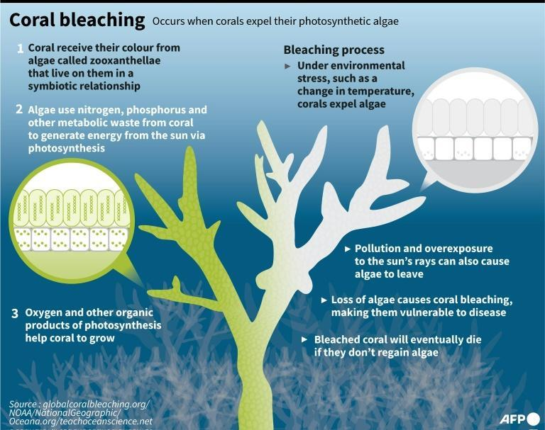 In a 2C world, more than 99 percent of all corals would disappear, according to the IPCC (AFP/Laurence CHU)