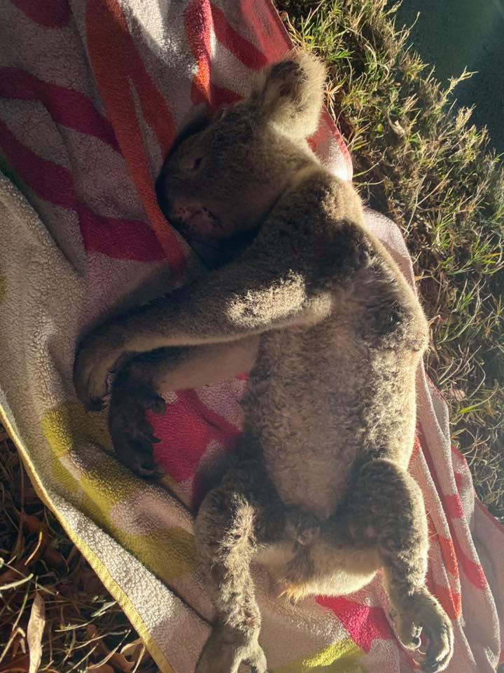 Colo the koala was well known to the rescue groups and unfortunately became a victim of the busy road.