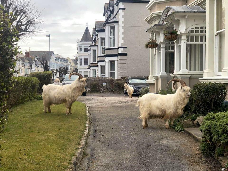 Baaaaa-lievable: Goats invade locked-down Welsh town