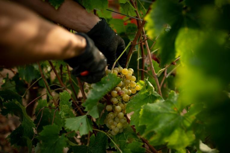 The effects of climate change are pushing Spain's wine growers to plant grapes at higher altitude (AFP/Josep LAGO)