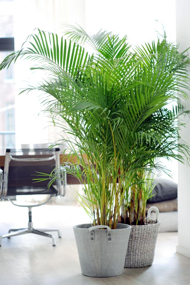 <p>This plant literally 'mops up' pollutants, making it ideal for anyone who constantly suffers from colds and sinus problems. You'll also fall asleep a lot quicker thanks to the air being cleaner.<br /><i>[Photo: Joy of Plants]</i> </p>