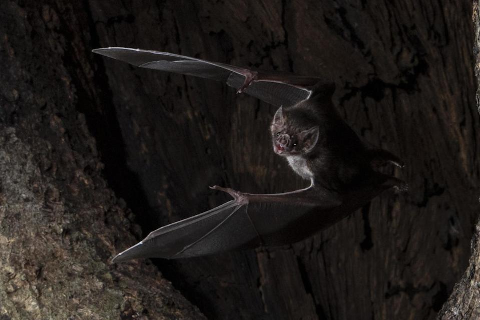 Wild vampire bats socially distance when they are sick to slow the spread of disease, research shows: PA