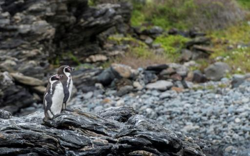 Humbolt penguins (Spheniscus humboldti) are a threatened species that nest only in Chile and Peru