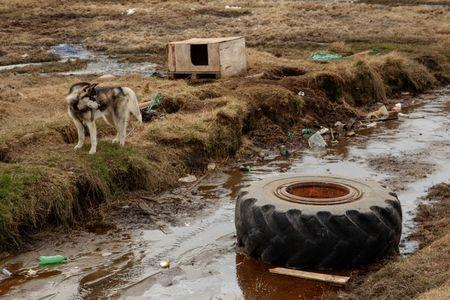 A sled dog chained to a small shelter looks at a tire in the town of Tasiilaq, Greenland, June 16, 2018. REUTERS/Lucas Jackson