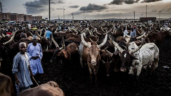 Herders sell their cattle in markets across Nigeria