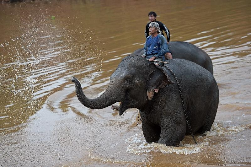 Mahouts with their elephants after bathing them in a river at Anantara resort, home to the Golden Triangle Asian Elephant Foundation, in Chiang Saen on April 10, 2015 (AFP Photo/Christophe Archambault)