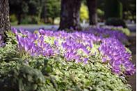 """<p>Referred to as """"meadow saffron"""" or """"autumn crocus,"""" <a href=""""https://www.gardeningknowhow.com/ornamental/bulbs/crocus/autumn-crocus-growing.htm"""" rel=""""nofollow noopener"""" target=""""_blank"""" data-ylk=""""slk:colchicum"""" class=""""link rapid-noclick-resp"""">colchicum</a> adds a playful pop of purple to your autumnal palette. The delicate crocus tends to require little care after planting and minimal watering. </p><p><strong>When it blooms: </strong>Fall</p><p><strong>Where to plant:</strong> Full sun to partial shade</p><p><strong>When to plant:</strong> Mid to late summer</p><p><strong>USDA Hardiness Zones:</strong> 5 to 9</p>"""