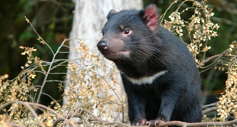 Scientists believe genetic bottlenecks made Tasmanian devils more susceptible to population declines due to disease. Source: Getty
