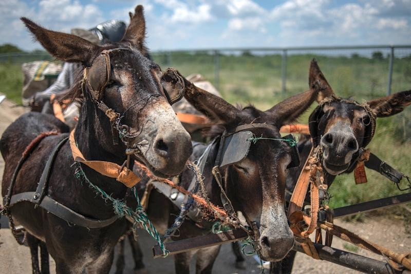 In South Africa villagers often rely on donkey-drawn carts to collect recycling material, firewood and sand for sale (AFP Photo/MUJAHID SAFODIEN)