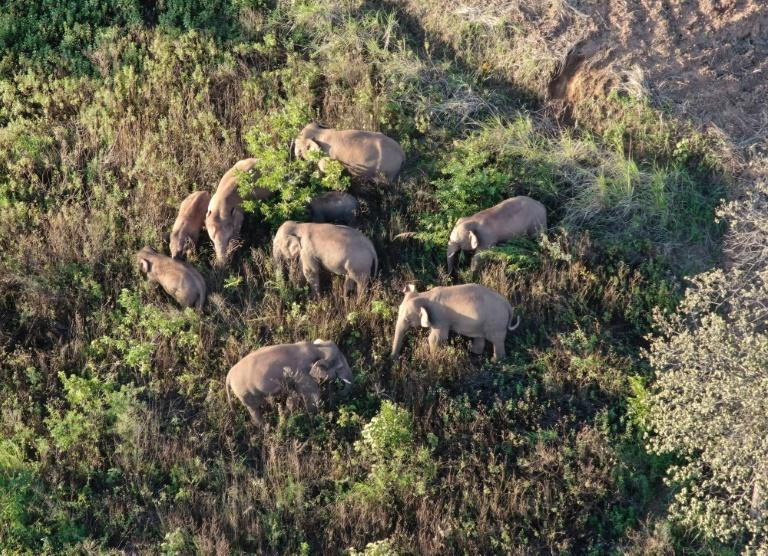 A herd of elephants have journeyed around 500 kilometres (310 miles) from their home in one of the longest animal migrations of its kind recorded in China