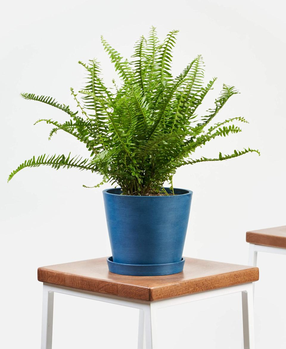 """<p>I bought this <a href=""""https://www.popsugar.com/buy/Bloomscape-Potted-Kimberly-Queen-Fern-406695?p_name=Bloomscape%20Potted%20Kimberly%20Queen%20Fern&retailer=bloomscape.com&pid=406695&price=65&evar1=casa%3Aus&evar9=47486578&evar98=https%3A%2F%2Fwww.popsugar.com%2Fphoto-gallery%2F47486578%2Fimage%2F47486772%2FBloomscape-Potted-Kimberly-Queen-Fern&list1=shopping%2Cfurniture%2Ceditors%20pick%2Capartments%2Chome%20decorating%2Csmall%20space%20living%2Capartment%20living%2Cdecor%20shopping%2Chome%20shopping%2Cat%20home%20with%20popsugar&prop13=api&pdata=1"""" class=""""link rapid-noclick-resp"""" rel=""""nofollow noopener"""" target=""""_blank"""" data-ylk=""""slk:Bloomscape Potted Kimberly Queen Fern"""">Bloomscape Potted Kimberly Queen Fern </a> ($65) as well because it's pet-friendly, and my cat chews on everything. I know he'll be safe with this plant.</p>"""