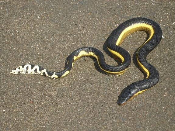 Camels of the Ocean: Sea Snake Dehydrates for Months