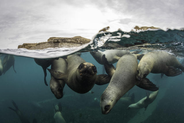 Split shot of a very large number of South American sea lions swimming towards the camera at a colony in the Nuevo Gulf, Valdes Peninsula, Argentina.