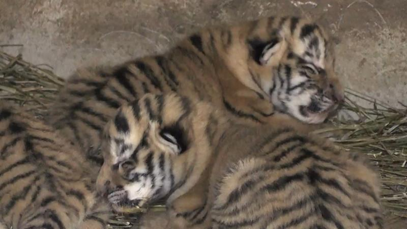 #Cuteness Alert: Watch Little Cubs Cuddle with Tigress Mum Frosi