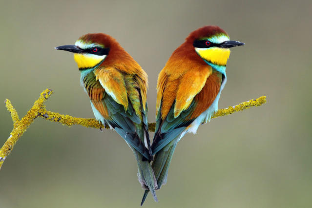 PIC BY ILIA SHALAMAEV / CATERS NEWS - (PICTURED European Bee-Eaters (Merops a, Pair during nesting period in Israel) With Valentines Day just around the corner its the time of year when love is in the air but as these pictures prove - its all over the earth too. These extraordinary images, taken by photographers across the globe, show Mother Nature is also gearing up to celebrate the big day with iconic heart shapes appearing all over the natural world. The charming pictures capture Mother Natures romantic side and feature several signs of love including an adorable fluffy penguin with a white heart emblazoned on its chest. Other natural displays include a flamingo creating a heart shape with its white and pink plumage and two swans which appear to kiss as they form a heart shape with their necks. SEE CATERS COPY