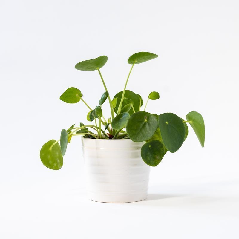 "<h2>Soil & Clay</h2><br><h3>Best Plant Deals</h3><br><strong>Sale</strong>: Select houseplant up to 50% off<br><strong>Dates</strong>: Now - Limited Time<br><br>If the thought of keeping a houseplant alive during a freezing winter gave you chills, now is the perfect time to adopt a new plant baby. Over at Soil & Clay, beginner-friendly houseplants are up to 50% off and waiting for new homes. Take a look at this stunning collection while the deals are still sprouting. <br><br><em>Shop</em> <strong><em><a href=""http://soilandclay.com"" rel=""nofollow noopener"" target=""_blank"" data-ylk=""slk:Soil & Clay"" class=""link rapid-noclick-resp"">Soil & Clay</a></em></strong><br><br><strong>Soil And Clay</strong> Pilea Peperomia (Chinese Money Plant), $, available at <a href=""https://go.skimresources.com/?id=30283X879131&url=https%3A%2F%2Fsoilandclay.com%2Fcollections%2Fplants%2Fproducts%2Fpelia-peperomioide"" rel=""nofollow noopener"" target=""_blank"" data-ylk=""slk:Soil And Clay"" class=""link rapid-noclick-resp"">Soil And Clay</a>"