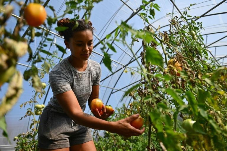 Brooke Bridges, who works at the Black-owned Soul Fire Farm near Albany, New York, inspects an abundant crop of tomatoes