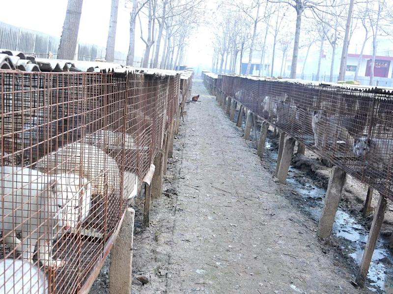 HSI commissioned an investigation at a fox and raccoon dog fur farm in China in 2015, where animals were killed using anal electrocution and beating (VShine)