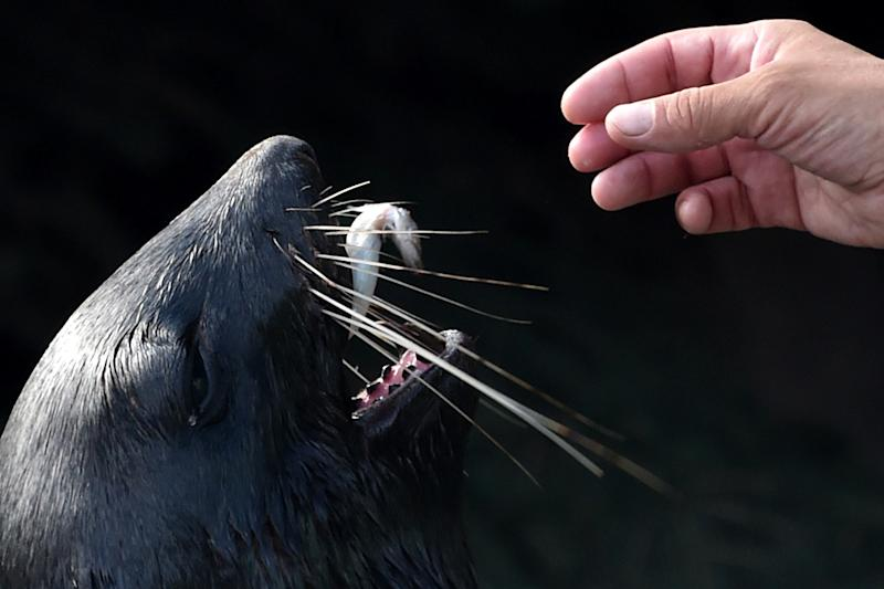 A northern fur seal eats a fish in Moscow Zoo on August 8, 2014 (AFP Photo/Kirill Kudryavtsev)
