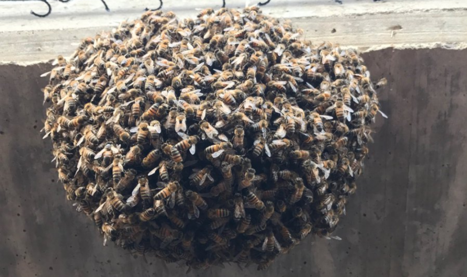 A nest of bees invaded the Double-A game between Corpus Christi and Northwest Arkansas on Sunday night. (Photo via Benjamin Kelly (@bkellypxp) on Twitter)