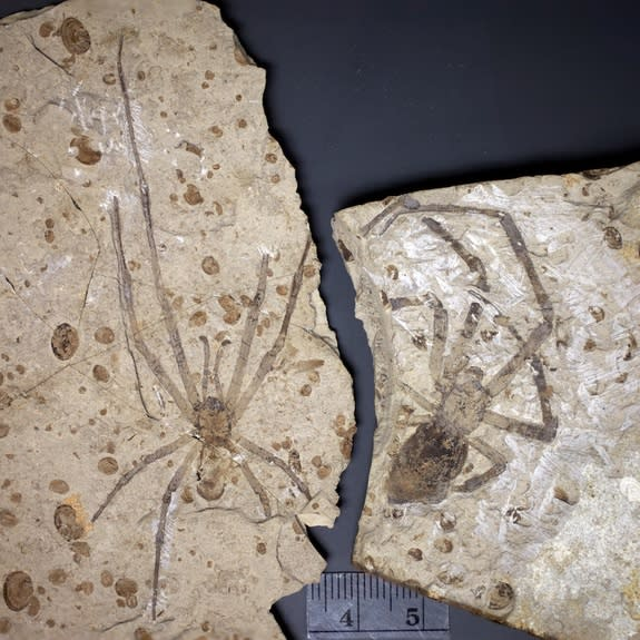 Biggest Spider Fossil Now Has a Mate — But It's Complicated