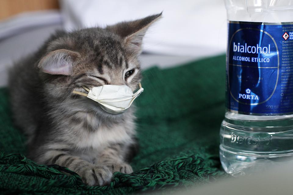 A cat with a protective mask in seen in Buenos Aires, Argentina, on April 7, 2020. Researchers from the Harbin Veterinary Research Institute discovered that cats are not only susceptible to contracting COVID-19, but can also transmit it to other cats. (Photo by Carol Smiljan/NurPhoto via Getty Images)